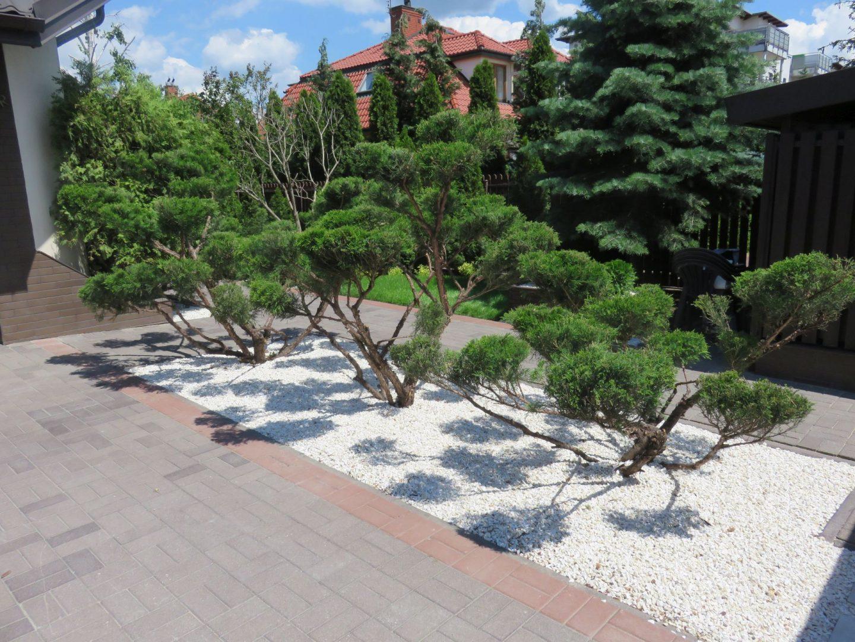 4a bonsai z dużych jałowców