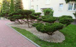 Bonsai w osiedlu (4)