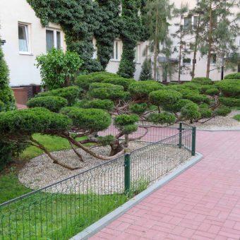 Bonsai na osiedlu – Ursynów
